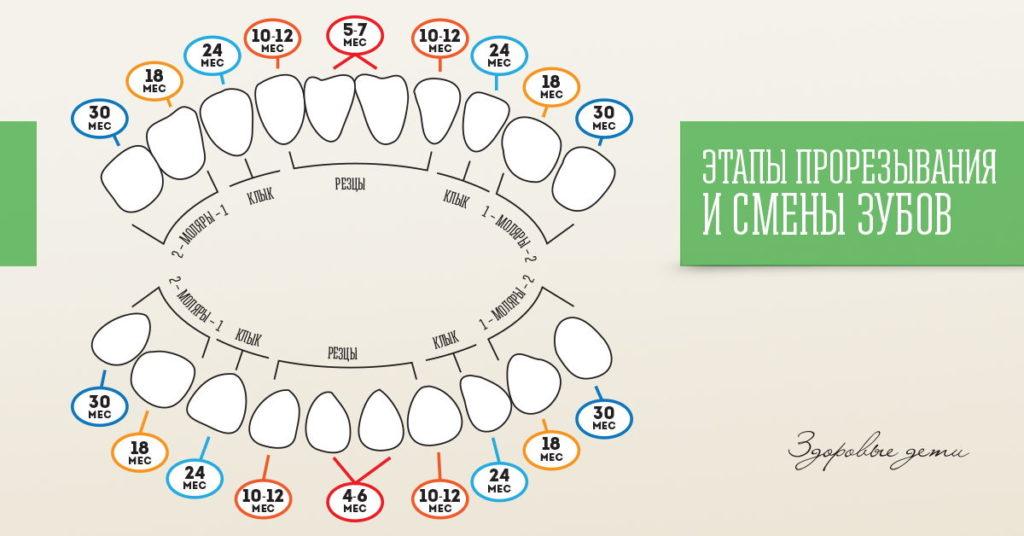 График прорезывания зубов